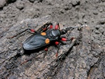 Orangespottet assassin bug (Platymeris sp Mombo)